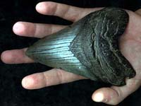 The Megalodon Shark Tooth
